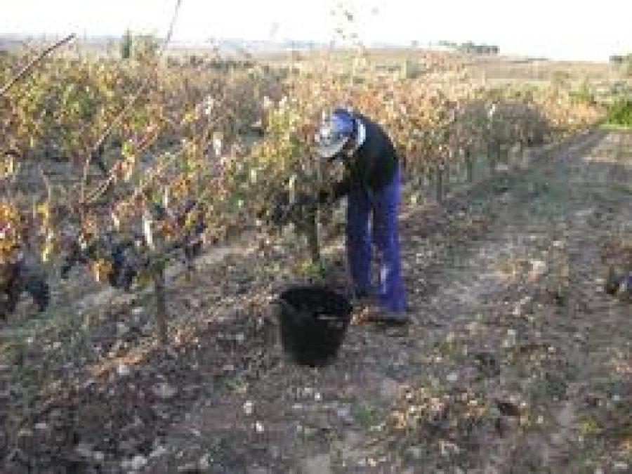 Viña Vilano supera el 50% de su vendimia
