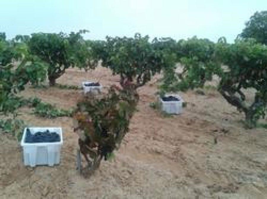 La uva recogida en la vendimia 2014 de Bodegas Viña Vilano está siendo de una calidad excepcional