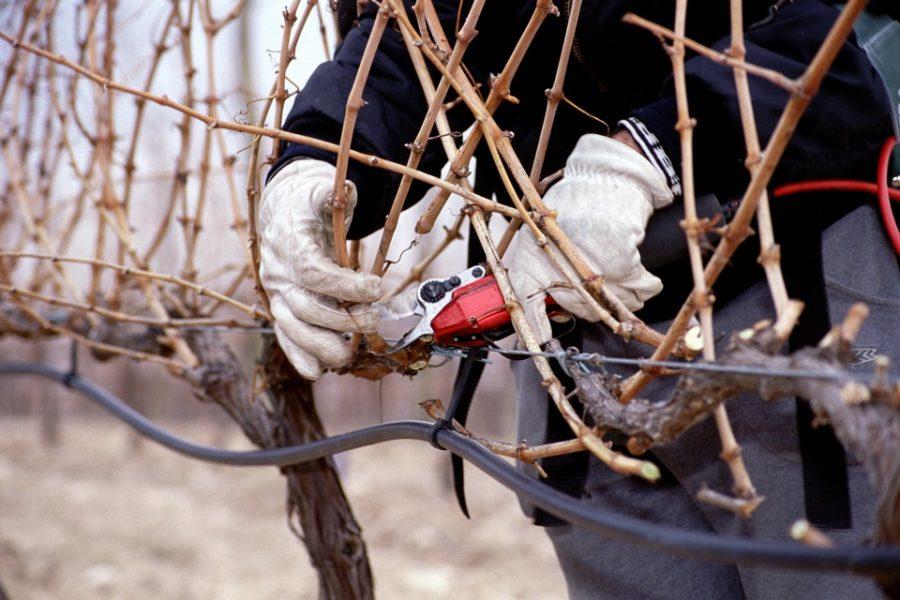 La poda en seco inaugura un periodo de expectativas optimistas en Viña Vilano