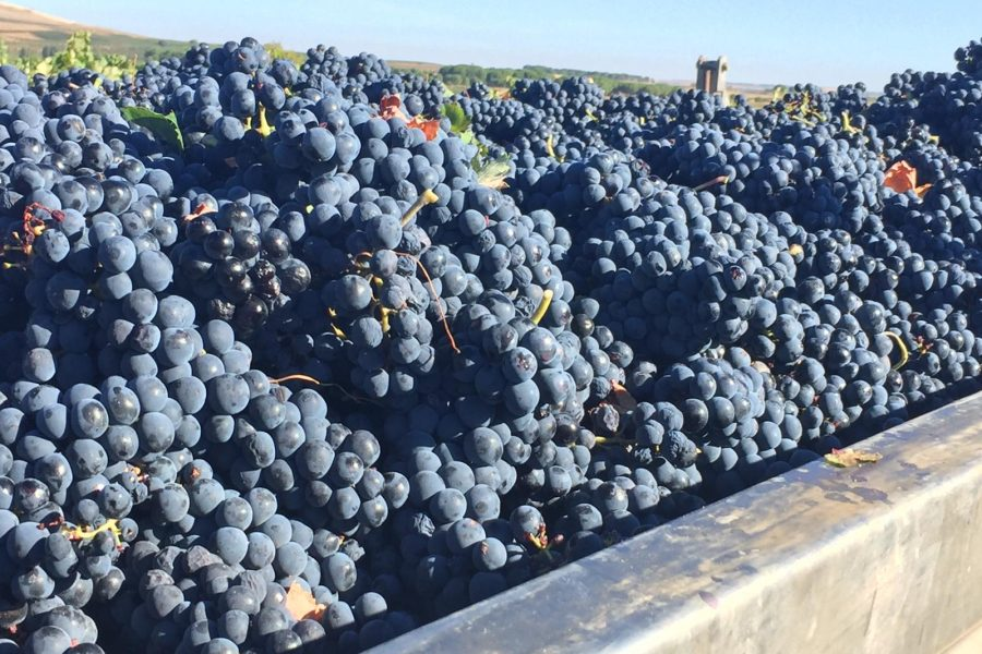Viña Vilano ends an abundant and high quality harvest thanks to the excellent meteorology in 2018