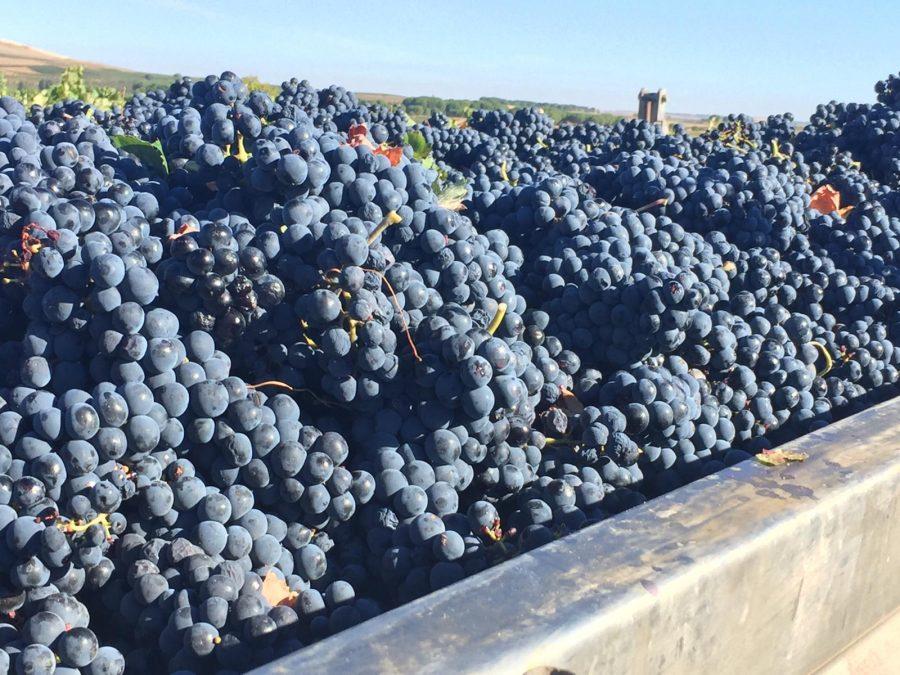 Viña Vilano pone fin a una vendimia abundante y de óptima calidad gracias a la excelente evolución climatológica de 2018