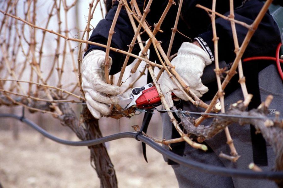 Las inusuales temperaturas que acompañan la poda de invierno, auguran una excelente cosecha en Viña Vilano.